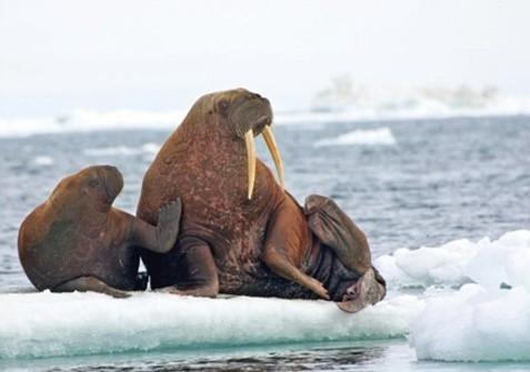 пенис моржа