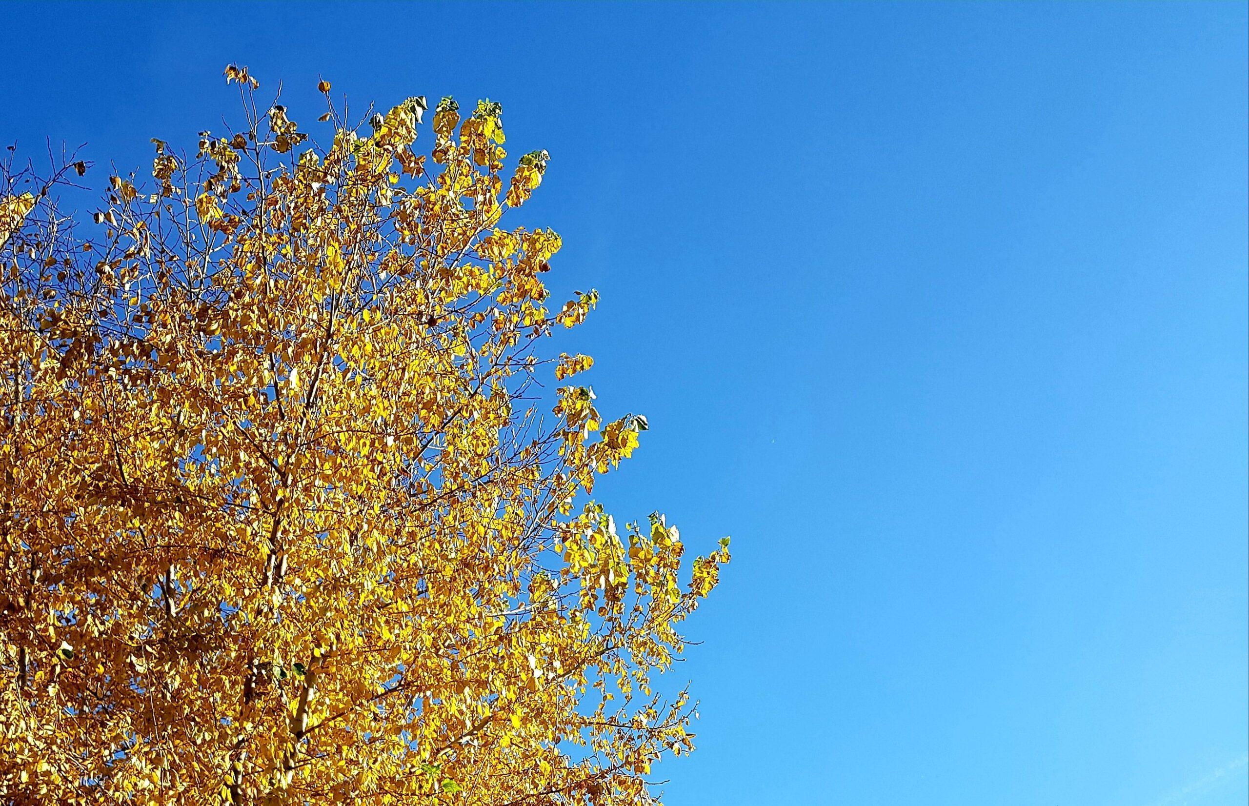 Желтые листья и небо